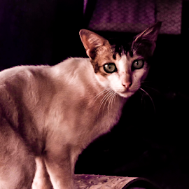 EYES by Apurba kumar Pal - Animals - Cats Portraits ( alart, whiskers, cat, lovable, look, eyes, furry,  )