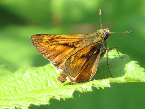 Photo: 17 Jul 13 Priorslee Lake This is a Large Skipper (29 – 36 mm wingspan). Scarcely larger than Small Skipper (27 – 34 mm wingspan)! Small Skipper has plain wings (apart from the single diagonal scent gland on the male): Large Skipper has well-marked wings (other skippers mainly have brown or grey wings). (Ed Wilson)
