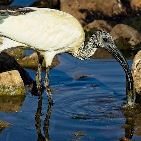 African Ibis by Anne-Marie  Fuller  - Animals Birds ( african ibis, nature, bird, nature up close, nature photography, wildlife,  )