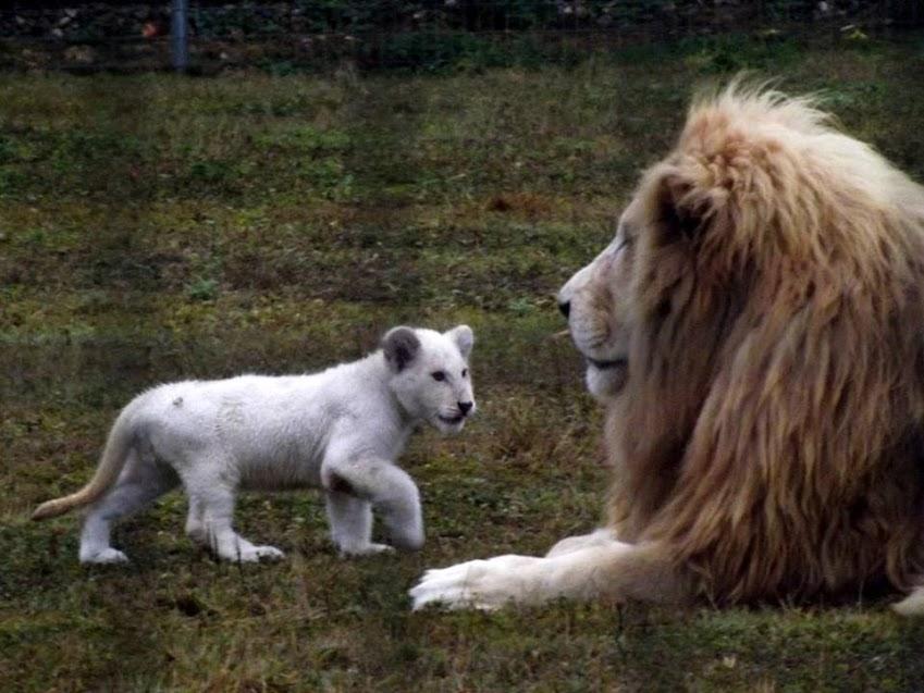 Lion et lionceau blancs, Parc des Félins - Tous droits réservés