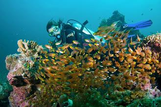 Photo: Yellow Sweeper, Similan Islands, Thailand
