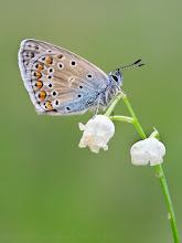 Photo: Polyommatus icarus, Azuré commun, Common Blue  http://lepidoptera-butterflies.blogspot.fr/