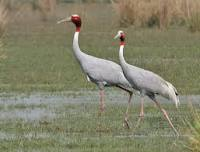 Image result for crane birds