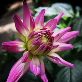 Dahlia Bud by Millieanne T - Flowers Flower Buds