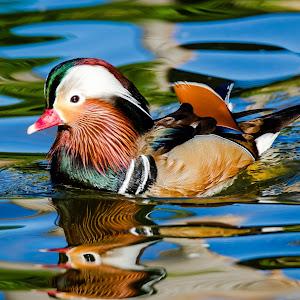 Mandarin Duck-94.jpg