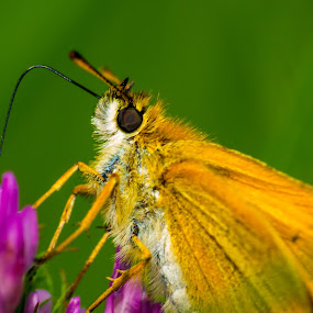 Skipper by Glen Sande - Animals Insects & Spiders ( nature, raynox 250, parks, jay cooke state park, outdoors, wildlife, woods, pentax da 55-300mm ed, pentax k-5,  )