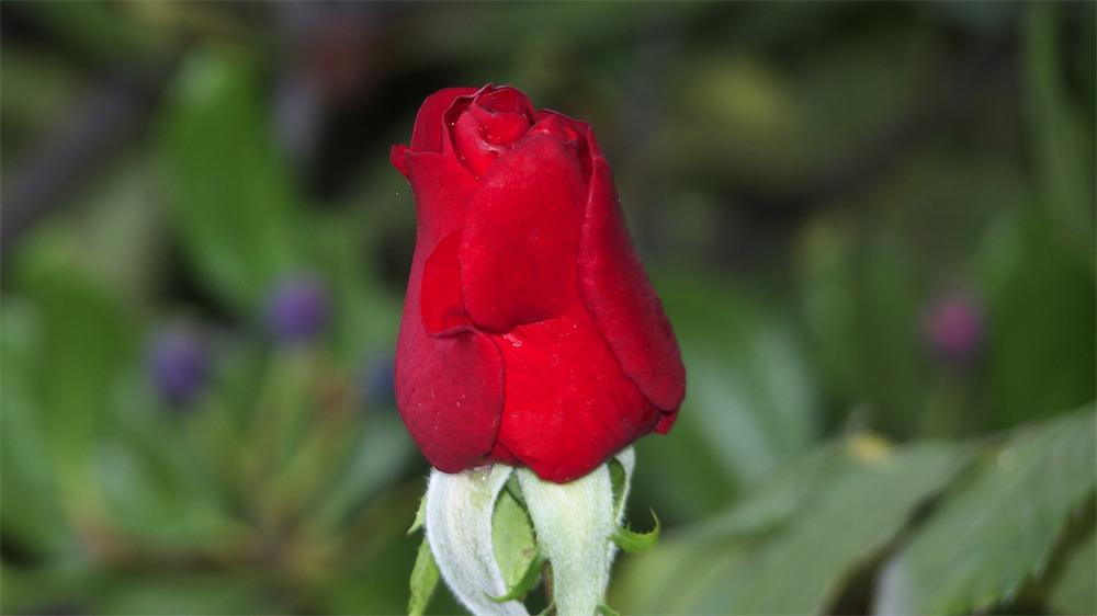 That's A Red Rosebud.jpg