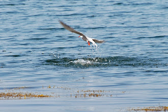 Photo: Tern fishing near Pemaquid Beach