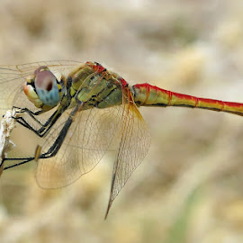 Dragonfly by Boris Buric - Uncategorized All Uncategorized