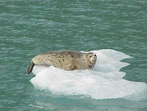 Photo: Harbor Seal