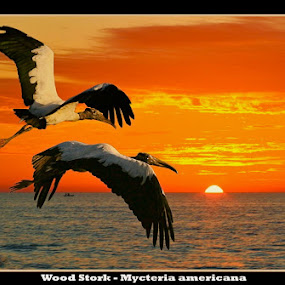 { Heading Home }  by Jeffrey Lee - Typography Captioned Photos ( woodstorks in flight with sunset, wood storks in flight, 2 wood storks in flight, sunsets with birds in flight, 2 birds in flight,  )