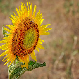 Sunflower by Cora Lea - Flowers Single Flower (  )