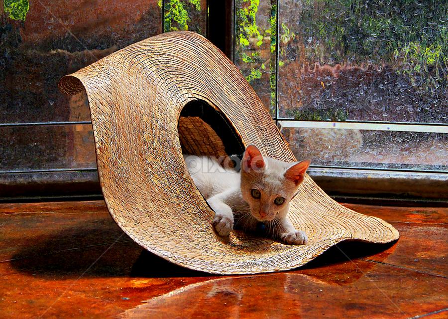 i just love my new hat by John Kolenberg - Animals - Cats Kittens ( hats, playing, kitten, sombrero, kittens, sombreros, hat, Dogs, Cats, Pets, Rabbits, Animals, pet, livestock, cows, , #GARYFONGPETS, #SHOWUSYOURPETS )