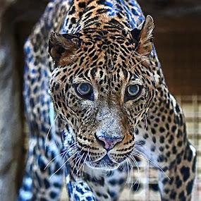 Pohled by Jiří Staško - Animals Lions, Tigers & Big Cats