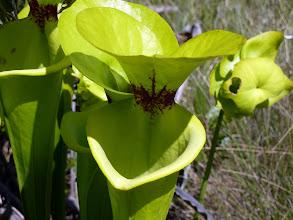 Photo: Sarracenia flava var. maxima near Sumatra (Florida Panhandle).