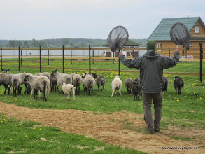 Photo: These sheep didn't like me for some reason