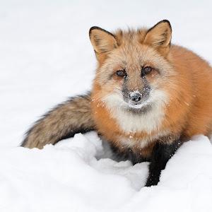 Fox Portrait Best Front HR.jpg