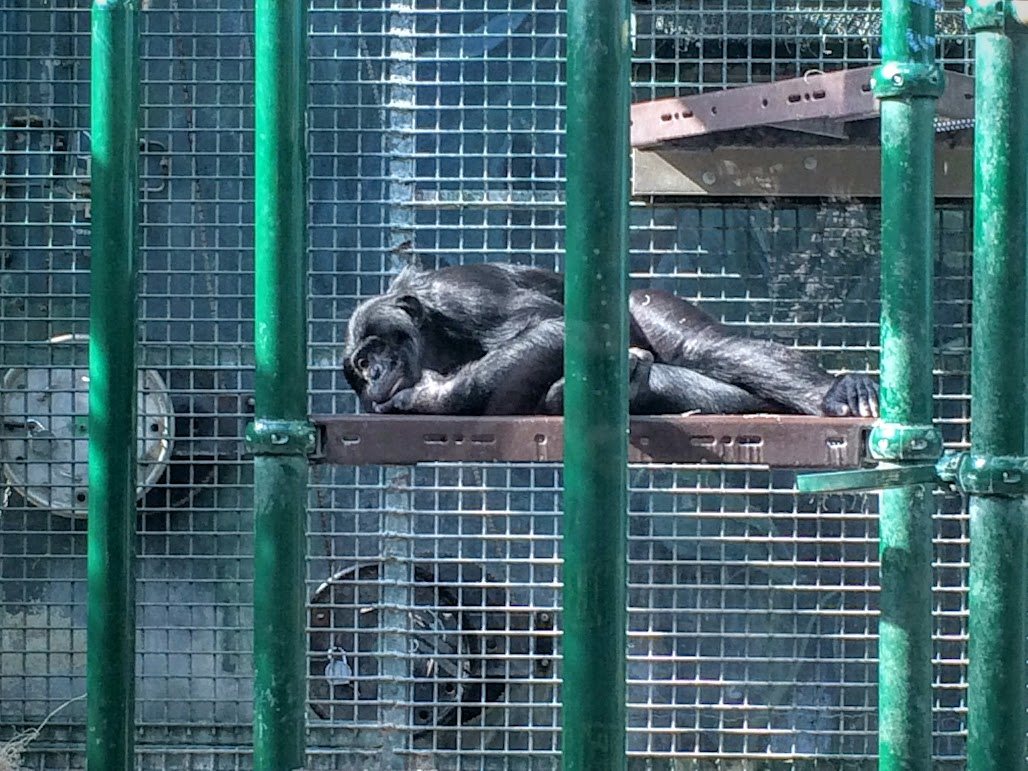 And of course, the Bonobos. This gal looks bored, but the younger ones were flying all over the place, so much so that one of the elders had to smack a few to calm them down...funny.