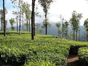Photo: 7B220936 na plantacji herbaty