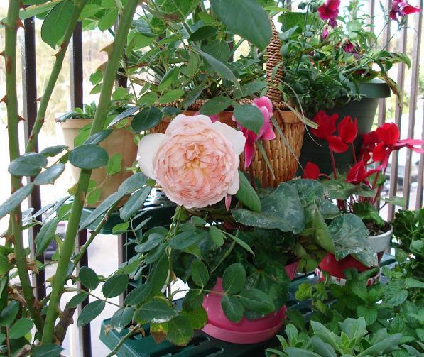 Выращивание розы на английском 22