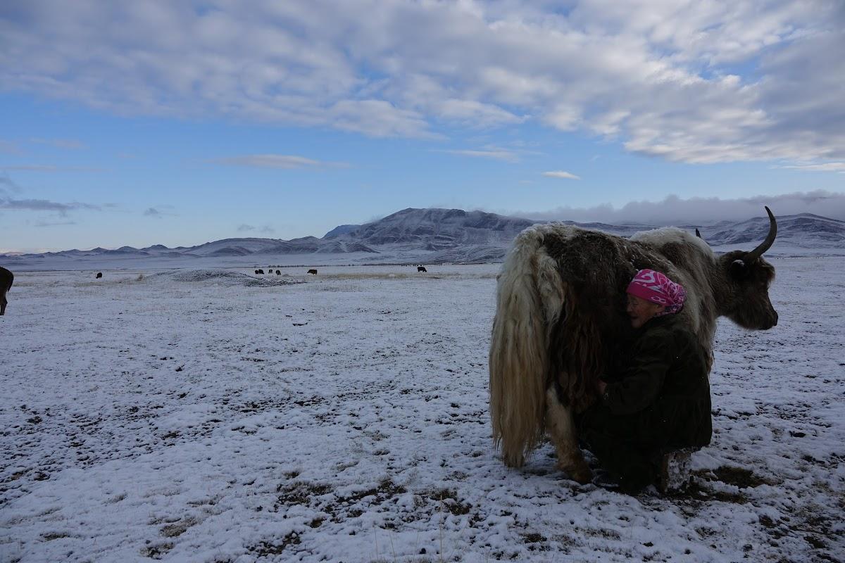 Baigan milking a yak