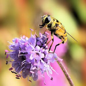 Hoverfly - Myathropa florae 13 1c.JPG