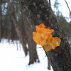 Witches Butter or Yellow Jelly Fungus