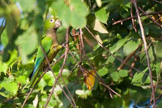 Photo: Olive-throated (Aztec) Parakeet (Aztekensittich); Bacalar, QROO
