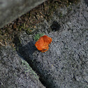 Cheetos Lichen