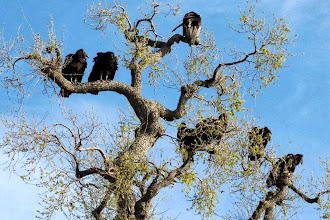 Photo: Condor - J. Dodson