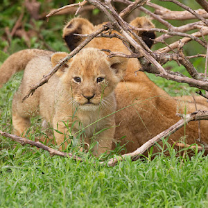 Lion Cub Baby SLR 1 Web Revised.jpg