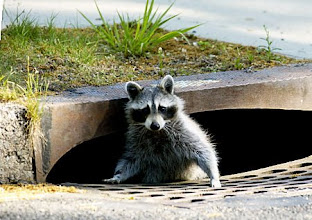 Photo: Raccoon  peers out of storm drain, checks the weather and decides to back underground recently in Bergen County, NJ.