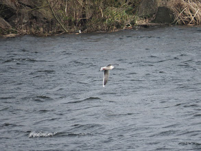 Photo: Trench Lock Little Gull present between 10:30am and still there when I left at 11:15am. (Ed Wilson)