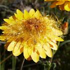 Golden Everlasting (seeding)
