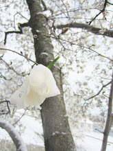 Photo: Snow on a white magnolia at Cox Arboretum in Dayton, Ohio.