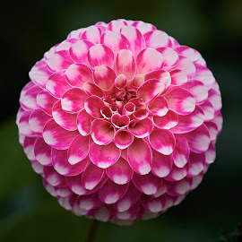 Dahlia 8686~ by Raphael RaCcoon - Flowers Single Flower
