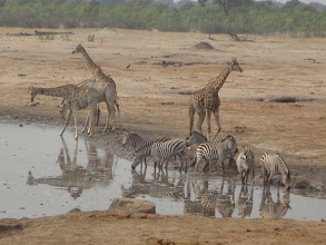Photo: Giraffes and zebras getting their drink on