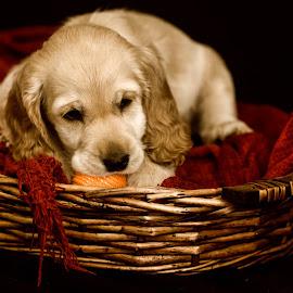 Toby by Susan Pretorius - Animals - Dogs Puppies