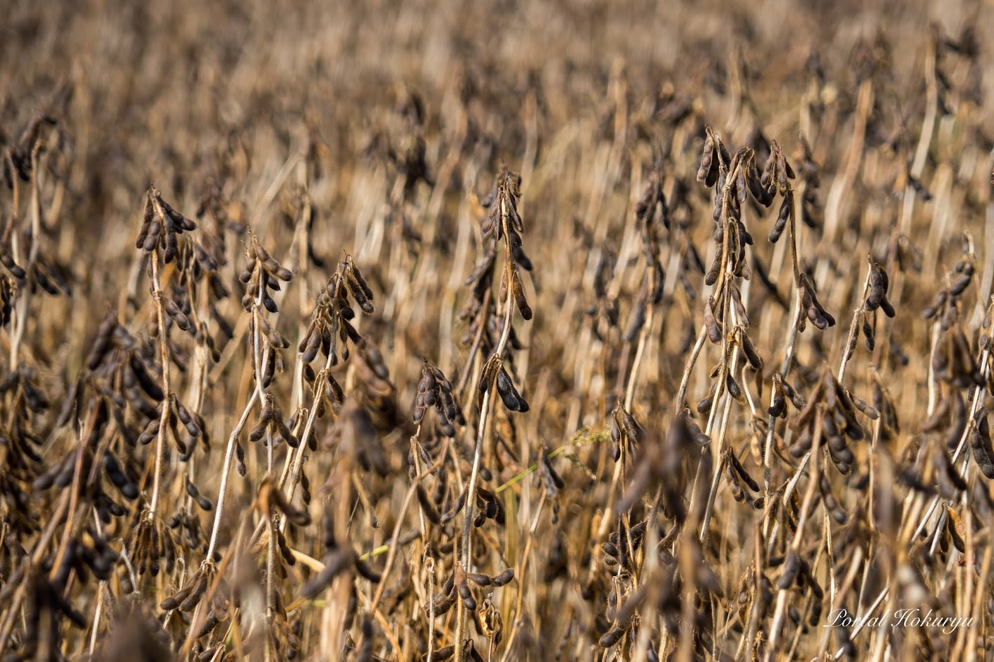 収穫期を迎えた黒千石大豆