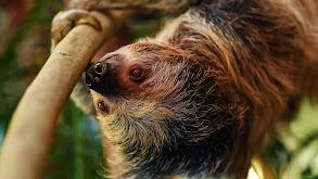Sloth Couples Therapy thumbnail
