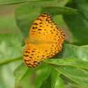 Oriental Common Leopard Butterfly