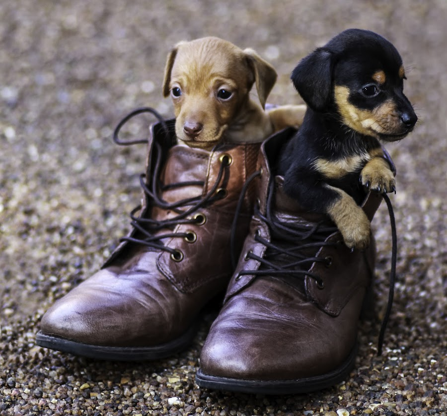 Baby shoes by Susan Pretorius - Animals - Dogs Puppies (  )