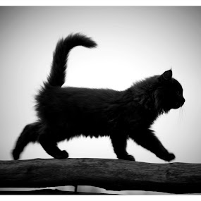 A Black Cat  by Stoyan Baev - Black & White Animals ( cat, black and white, silhouette, kitty, close up, animal )