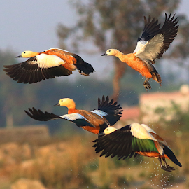 Ruddy shelduck by Nelson Thekkel - Animals Birds