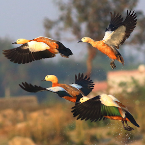 Ruddy shelduck by Nelson Thekkel - Animals Birds