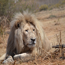by Orpa Wessels - Animals Lions, Tigers & Big Cats