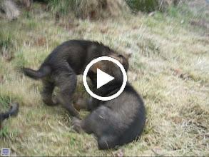 Video: VIDEO: Ayla banker Ailo, og Argus er for tykk til å henge med. Da er det bare å vente i bunnen...
