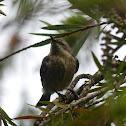 Amethyst Sunbird (Female)