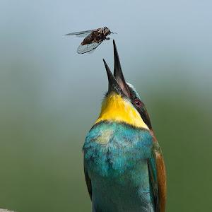 D:\01 GALERIJA FOTO\01 ptice\Čebelar - Rumenogrli čebelar - Merops apiaster\pixoto 2015\Merops-apiaster-259.jpg