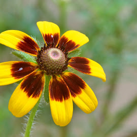 Rudbekia by Arsalan Sandhila - Flowers Single Flower ( single, nikon, close up, macro, flowers, beauty, nature, flora, garden, summer, flower )
